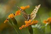 Butterfly foraging an orange flower PN Bukhansan South Korea