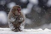 Japanese macaque in snow Shiga Kogen Japan