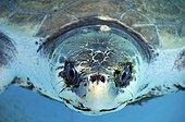 Olive Ridley Turtle, , Brazil