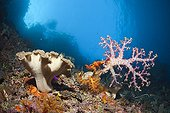 Mushroom Leather Coral and Soft Corals, Raja Ampat, West Papua, Indonesia