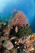 Cushion Starfish at Coral Reef, Raja Ampat, West Papua, Indonesia