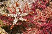 Red Mesh Starfish, Raja Ampat, West Papua, Indonesia