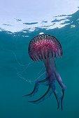 Luminescent Jellyfish, Cap de Creus, Costa Brava, Spain