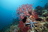 Coral Reef with Starfish, Amed, Bali, Indonesia
