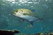 Bluefin Trevally, Beqa Lagoon, Viti Levu, Fiji