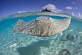 Tahitian Stingray, Bora Bora, French Polynesia