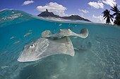 Tahitian Stingrays, Bora Bora, French Polynesia
