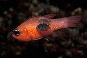 Apogon Isopode ; Isopod on Mediterranean Cardinalfish, Vis, Dalmatia, Adriatic Sea, Croatia
