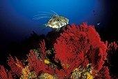 Corail dur Gorgone Saint-Pierre ; John Dory Fish over Coral Reef, Susac, Dalmatia, Adriatic Sea, Croatia