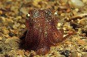 Sepiola Cuttlefish, Korcula, Dalmatia, Adriatic Sea, Croatia