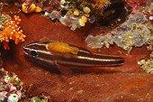 Apogon Isopode ; Isopod on Cardinalfish, Raja Ampat, West Papua, Indonesia