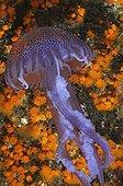 Mauve Stinger Jellyfish, Ustica Island, Sizilia, Italy