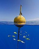 Carangue royale jaune Sélar ; Golden Trevally surrounds Buoy, Kona Coast, Big Island, Hawaii, USA