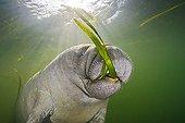Manatee feeding on Seagrass, Crystal River, Florida, USA