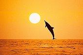 Silhouette of Spinner Dolphin, Big Island, Hawaii, USA
