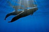 Couple of Short-finned Pilot Whale, Big Island, Hawaii