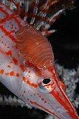 Isopode Poisson-épervier ; Parasite Isopod on Longnose Hawkfish, Komodo, Indonesia