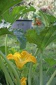 Zucchini in bloom in a kitchen garden