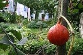 Potimarron squash in a kichen garden