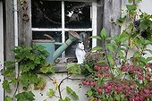 Hydrangea and Virgia creeper in front of a window