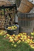 Harvest of apples in a garden