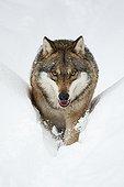 Europe Wolf walking in snow Bayerischer WaldGermany