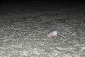 Nine-banded armadillo at night Pantanal Brazil