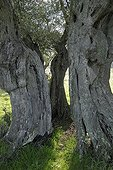 Ancient olive tree estimated to be 1300 years old