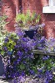 Wall bellflower and lavender , June