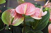 Flamingo flower 'Adios Kiss', October