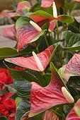 Flamingo flower 'Strong Love', October