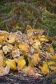 Hosta ; Autumn die back on hosta , October