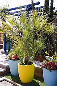 Blue Pergola and Colourful Plant Pots with Dwarf Fan Palm