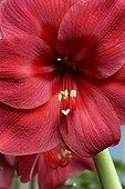 Close-up of Red Amaryllis
