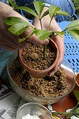 Preparing Cuttings of Mexican Orange Blossom 'Sundance' ; Pot Cutting in Sandy Soil (Step 3 of 4)