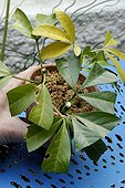 Preparing Cuttings of Mexican Orange Blossom 'Sundance' ; Placing 2 or 3 Cuttings Per Pot (Step 4 of 4)
