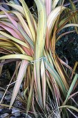 Tying together Phormium leaves to protect it during winter