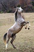 Spanish thoroughbred horses rearing Vaucluse