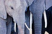 Young elephants in the Amboseli NP Kenya