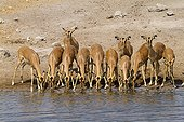 Black-faced Impalas drinking at a watering place Etosha NP