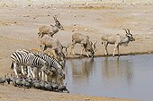 Kudu and other species of Etosha NP in Namibia