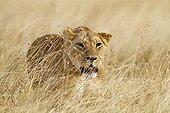 Lioness hunting in the Masai Mara NR Kenya