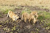 Lioness killing a wildebeest caught in the mud Masai Mara NR