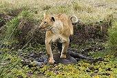 Lioness killing a wildebeest caught in the mud Masaï Mara NR