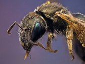 Small metallic bee covered on pollen ; It has a parasitic mite on the wing. <br>Image digitally manipullated. <br>
