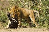 Lion male and wildebeest Masai Mara NR Kenya