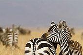 Tenderness between Grant's zebra in the Masai Mara NR