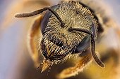 Small metallic bee head top view ; It has a parasitic mite on the wing. <br>Image digitally manipullated. <br>At 7:1<br>