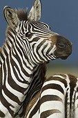 Zèbres de Grant dans la RN du Masaï Mara au Kenya