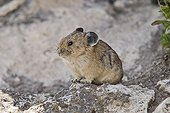 American Pika on a rock USA ; Small rodent similar lagomorphs, live at high altitude do not hibernate, and therefore significant reserves of hay between the rocks where he lives<br>is scarce in relation to climate change - different species in Eurasia and North America -